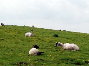Sheep grazing on the hillfort